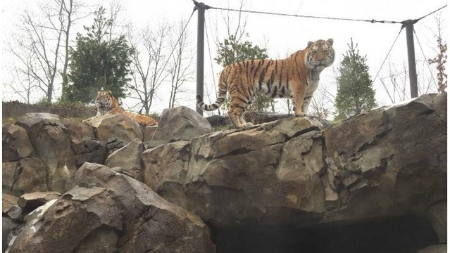 GR zoo can breed tigers under new Michigan law