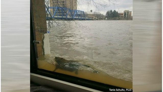 Muskrat swims past office window in flooded river