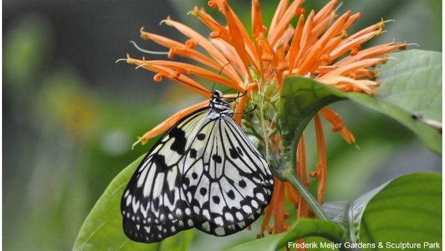 Meijer Gardens butterfly exhibition opens Thurs. - WOODTV