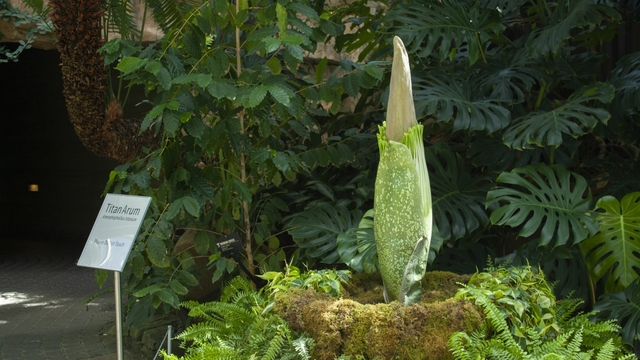 LIVE: Corpse flower at Meijer Gardens nears bloom