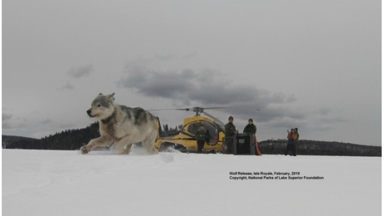 Wolf restoration project at Isle Royale off to strong start