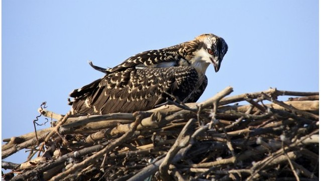 Michigan officials seek volunteers to monitor osprey nests